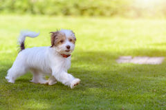 A cute, happy puppy running on green summer grass. A cute, fluffy, happy puppy running on vibrant green grass in the summer time stock image
