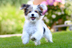 Cute, happy puppy running on summer green grass. An adorable, happy puppy caught in motion while running on vibrant green grass in summer stock photography