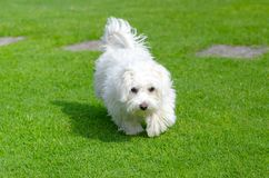 Cute, happy puppy running on summer green grass. An adorable, happy puppy caught in motion while running on vibrant green grass in summer in upper view royalty free stock images