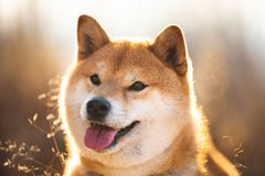 Cute and happy red Shiba inu dog sitting in the field at sunset. Profile portrait of a cute and happy red dog breed Shiba inu sitting in the field at sunset stock photo