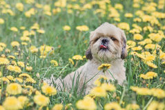 Cute happy shitzu dog puppy laying on fresh summer grass Stock Image