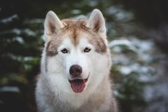 Cute and happy Siberian Husky dog sitting on the snow in front of fir-tree in the winter forest. Close-up Portrait of cute and happy Siberian Husky dog sitting stock photos