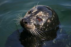 Cute Harbor Seal Stock Image