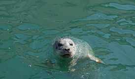 Cute Harbor Seal in Water Royalty Free Stock Photos