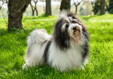 Cute Havanese dog in a beautiful sunny grassy field Stock Images