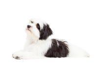 Cute Havanese Dog Laying Royalty Free Stock Image