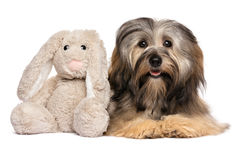 Cute Havanese dog with a rabbit plush toy Royalty Free Stock Image