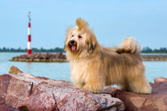 Cute Havanese dog is standing in a harbor, looking into the dist Stock Images
