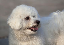 Cute havanese looking Royalty Free Stock Photography