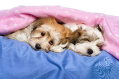 Cute Havanese puppies are lying and sleeping in a bed stock photography