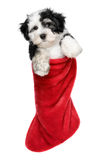 Cute Havanese puppy dog is hanging on a Santa boots. Cute Bichon Havanese puppy dog is hanging on a Christmas - Santa boots. Isolated on a white background royalty free stock photo