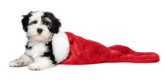 Cute Havanese puppy dog is lying in a Santa boots. Cute Bichon Havanese puppy dog is lying in a Christmas - Santa boots. Isolated on a white background stock photography