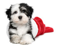 Cute Havanese puppy dog is lying in a Santa boots. Cute Bichon Havanese puppy dog is lying in a Christmas - Santa boots. Isolated on a white background stock photos