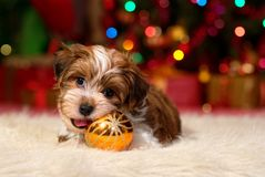 Cute Havanese puppy is playing with a Christmas ornament royalty free stock photos
