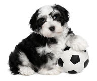 Cute havanese puppy dog with a soccer ball Royalty Free Stock Photography
