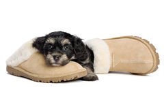 Cute havanese puppy dog is waiting for her owner Stock Photo