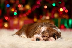 Cute Havanese puppy is dreaming about Christmas royalty free stock image