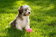 Cute havanese puppy in the grass with a pink ball. Cute little havanese puppy dog sitting in the grass with his pink ball royalty free stock photography