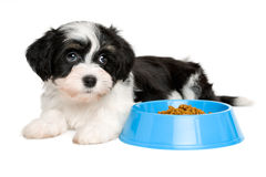 Cute Havanese puppy lying next to a blue food bowl Stock Photos