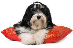 Cute havanese puppy is lying on a red xmas cushion Royalty Free Stock Image