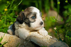 A cute havanese puppy in the nature. A cute little havanese puppy dog is lying on stones among some plants in sunshine Royalty Free Stock Photography