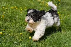 Cute havanese puppy running in a spring flowering garden Stock Image