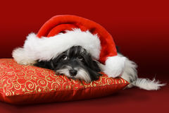 Cute havanese puppy with Santa hat on red cushion Stock Photo