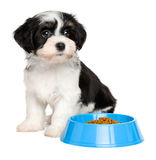 Cute Havanese puppy sitting next to a blue food bowl. Cute tricolor Bichon Havanese puppy dog is sitting next to a blue bowl of dog food - on white background stock images