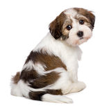 Cute Havanese puppy is sitting and photographed from behind