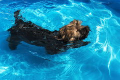 Cute havanese puppy is swimming in a blue outdoor pool Stock Photos