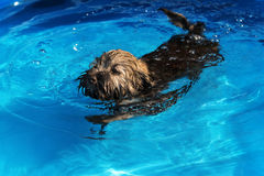 Cute havanese puppy is swimming in a blue outdoor pool Stock Image