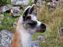 Cute Head of Baby Lama Stock Photo