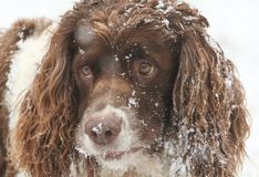 A cute head shot of an English Springer Spaniel Dog with snow on his ears and face. An adorable head shot of an English Springer Spaniel Dog with snow on his Royalty Free Stock Photo