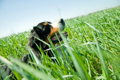 A cute, healthy dog on the field Royalty Free Stock Photography