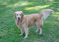 Cute healthy golden retriever dog walking Stock Photo