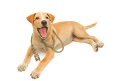 Cute healthy puppy with a stethoscope Stock Images