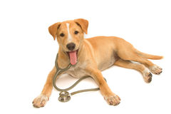 Cute healthy puppy with a stethoscope Royalty Free Stock Image