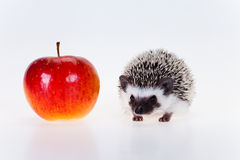 Cute hedgehog Royalty Free Stock Photos
