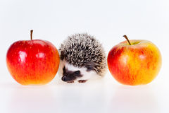 Cute hedgehog Royalty Free Stock Photo