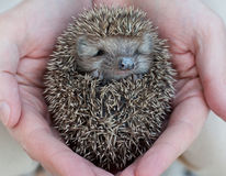 Cute hedgehog baby. In male hand, closeup Stock Photography
