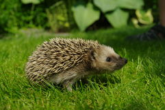 Cute hedgehog. Closeup of hedgehog on lawn Royalty Free Stock Image