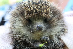 Cute hedgehog. This cute guy was trapped when drinking cats` milk Stock Photography
