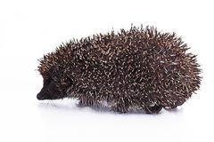 Cute hedgehog. Hedgehog quill closeup. Hedgehog spike spikes quills as texture background. Hedgehog is any of the spiny Royalty Free Stock Photo