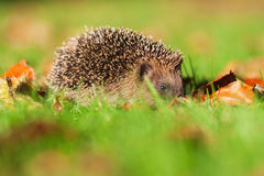 Cute hedgehog huddles on the meadow Royalty Free Stock Photo