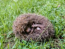 Cute hedgehog - I LOVE IT : stock images