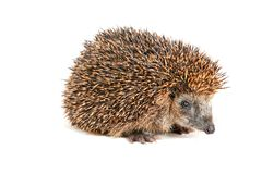 Cute hedgehog looking at the beholder. Adorable hedgehog standing and looking at the beholder Stock Photos