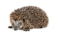 Cute hedgehog looking at the beholder Royalty Free Stock Image