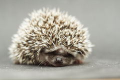 Cute hedgehog rodent baby sleeping. Atelerix albiventris Stock Images