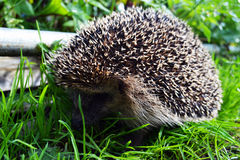Cute hedgehog running on the green grass. Photo of the huge prickly hedgehog running on the grass Stock Photo