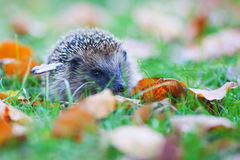 Cute hedgehog sits in the autumn meadow Royalty Free Stock Photos